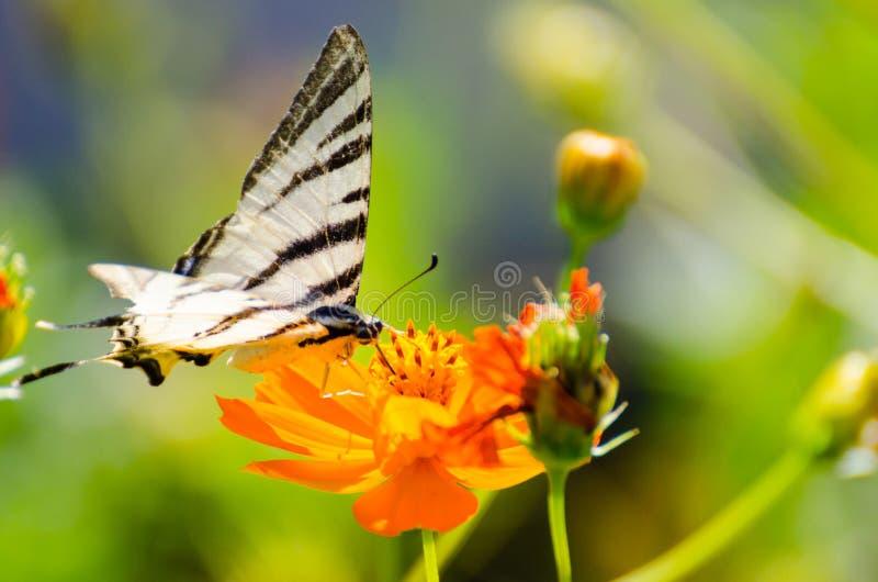 在橙色花安置的五颜六色的蝴蝶 免版税图库摄影