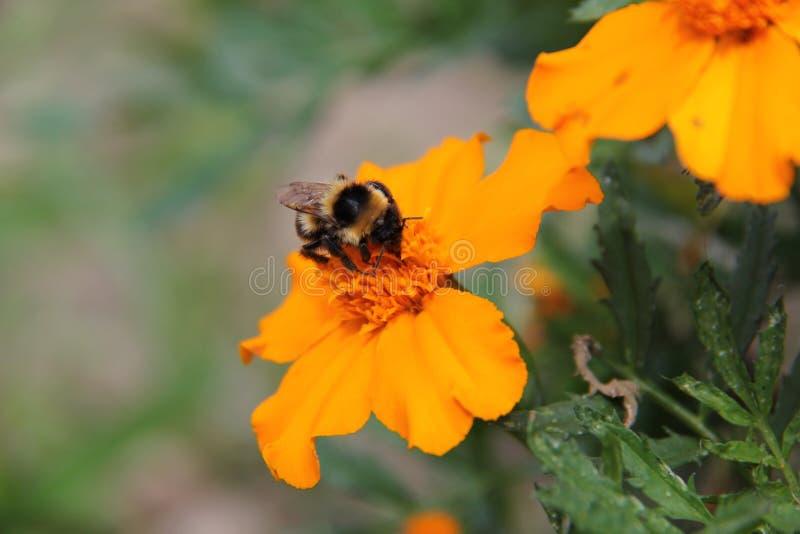 在橙色花的蜂 图库摄影