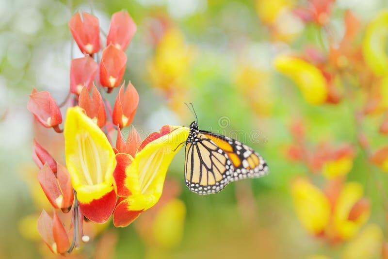 在橙色花的蝴蝶 国君,丹尼亚斯plexippus,蝴蝶在自然栖所 从墨西哥的好的昆虫 自然艺术视图  库存照片