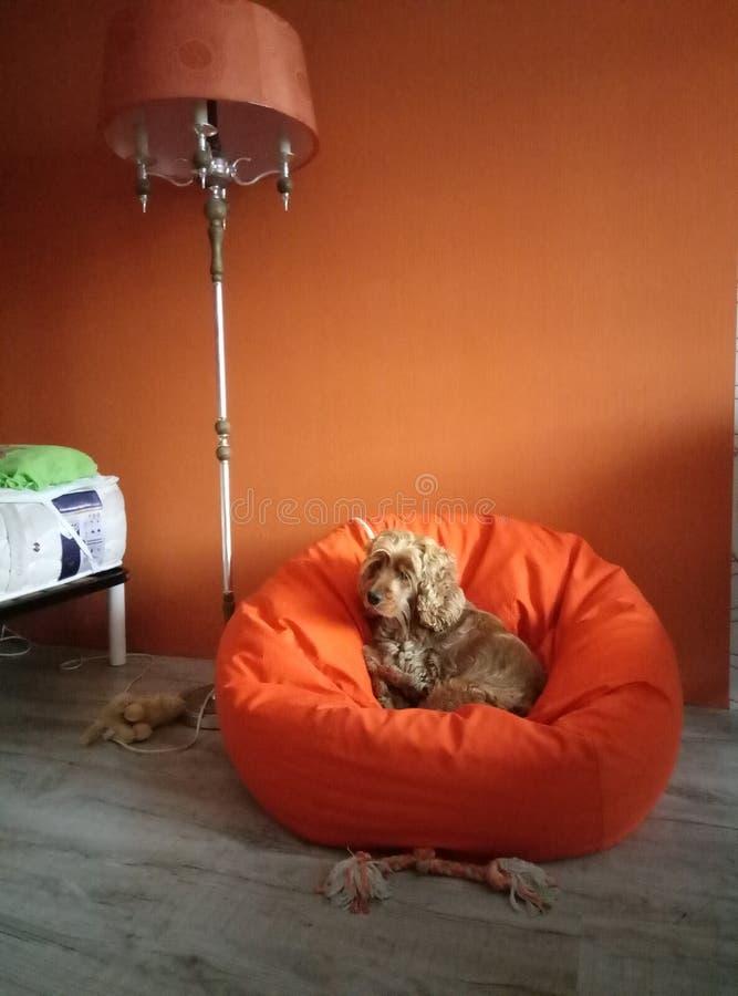 在橙色装豆子小布袋椅子的橙色狗在橙色屋子 图库摄影