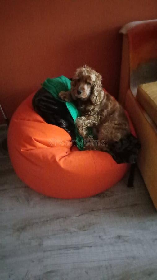 在橙色装豆子小布袋椅子的橙色狗 库存图片