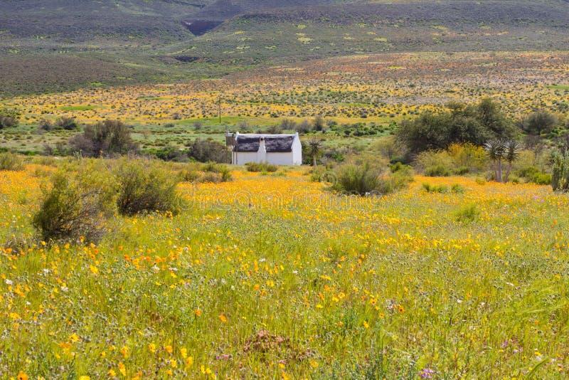 在橙色雏菊的领域的白色村庄 免版税库存照片