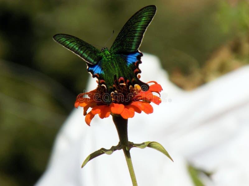 在橙色颜色花的蝴蝶 库存照片