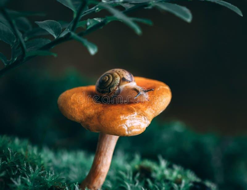 在橙色黄蘑菇蘑菇的一只小的好奇蜗牛在青苔 不可思议的森林宏观特写镜头,绿色被弄脏的背景 免版税库存照片