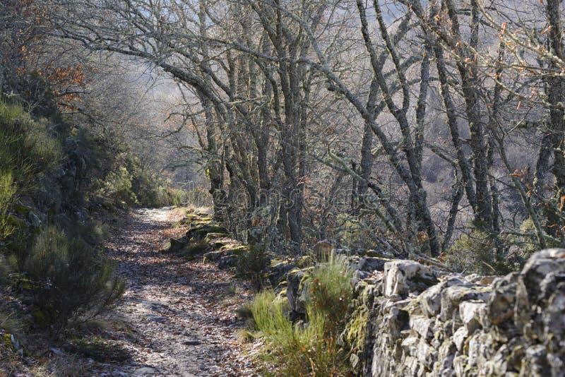 在橡木之间的森林公路秋天中 免版税库存照片