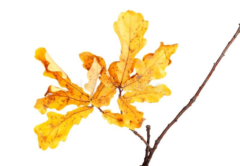 在橡木枝杈的黄色秋叶 免版税库存照片