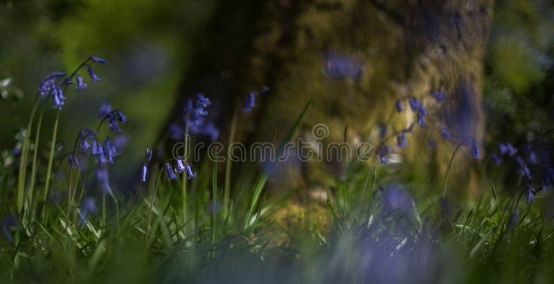 在橡木2下的会开蓝色钟形花的草 库存照片