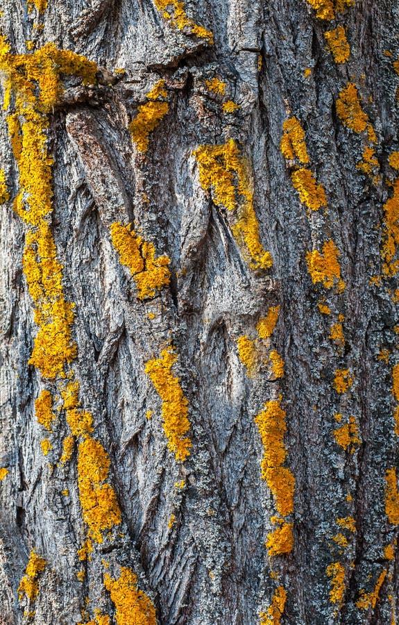 在橡树树干、纹理或者背景的对角黄色青苔条纹 库存图片