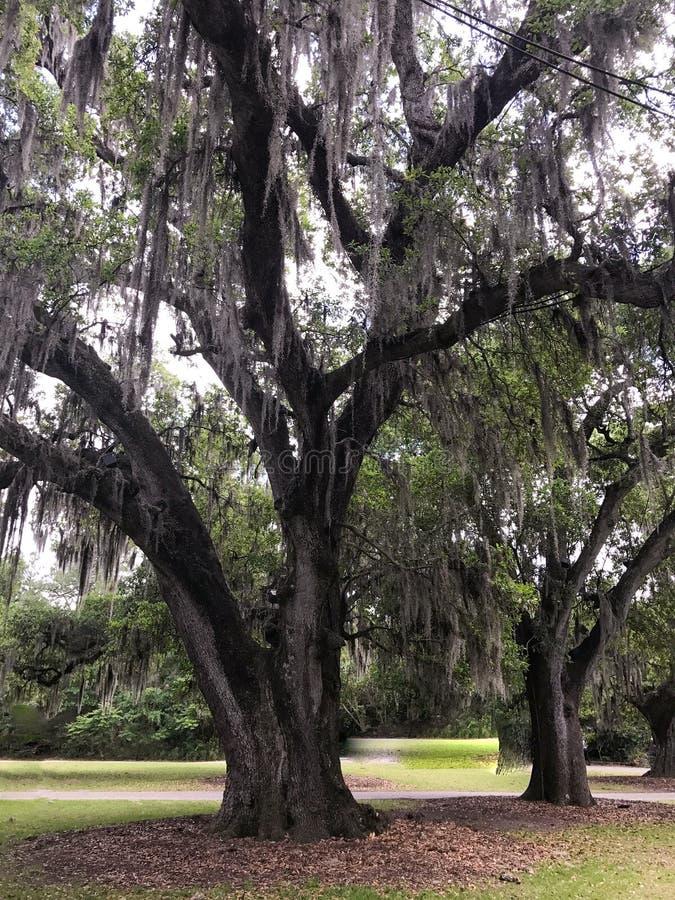 在橡树的寄生藤在公园 免版税库存图片