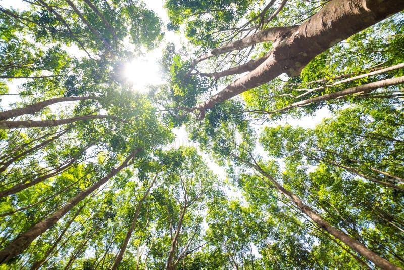 在橡胶树种植园的太阳射线 图库摄影