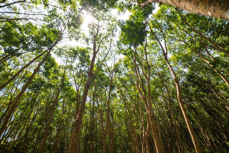 在橡胶树种植园的太阳射线 库存图片