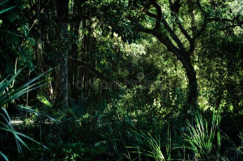在次级热带森林里面的老树 库存照片