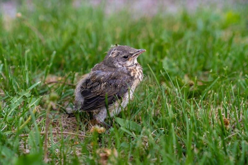 在正在寻找母亲的绿草的被放弃的鸟在赫尔辛基 免版税库存照片