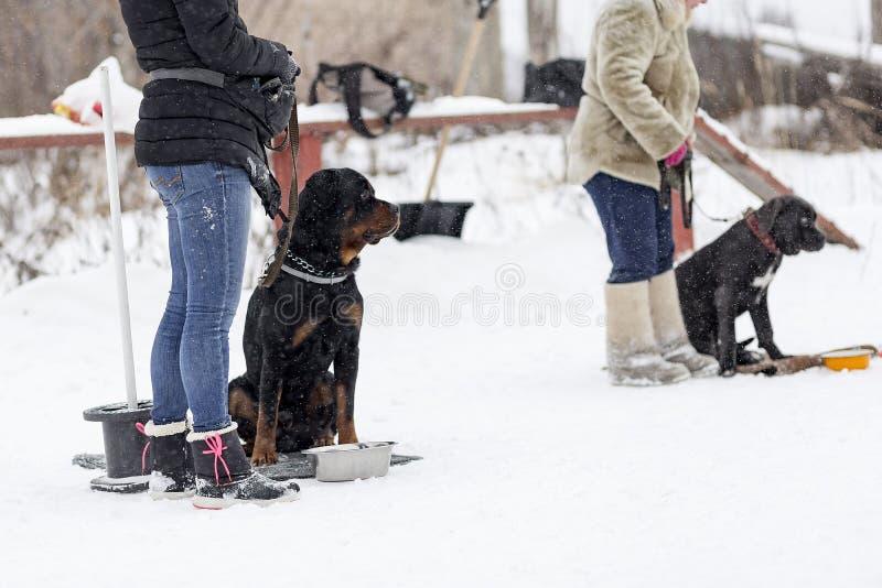 在步行在冬天,特写镜头的Rottweiler 库存图片