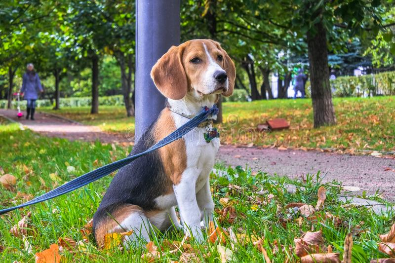 在步行的一只聪明的小猎犬小狗在城市公园 三色小猎犬小狗观看一个平安的秋天风景 库存图片