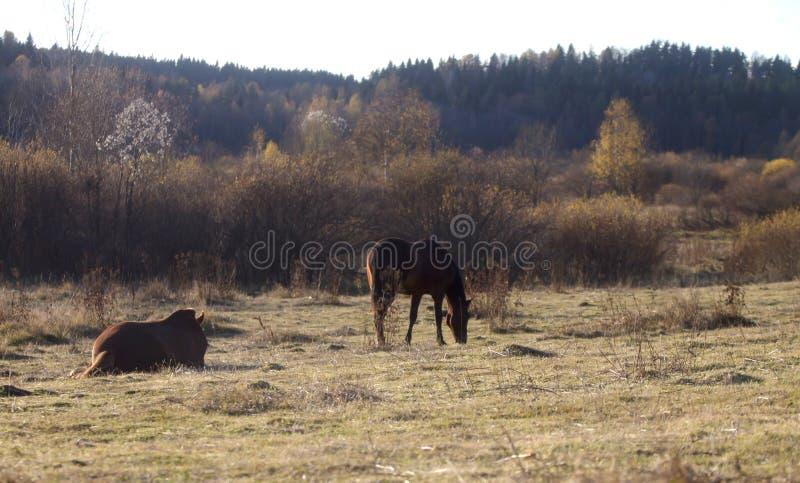 在步行的两匹马 免版税库存图片