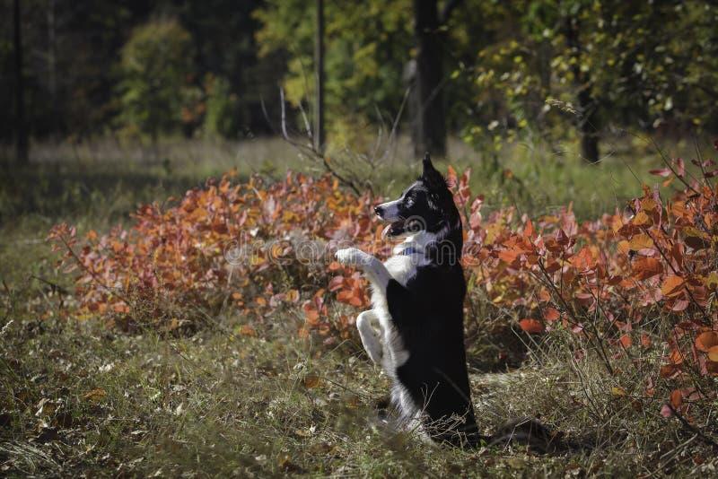 在步行的博德牧羊犬在公园 免版税图库摄影
