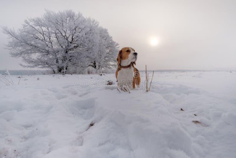 在步行的小猎犬在多雪的森林在一个冬日 图库摄影