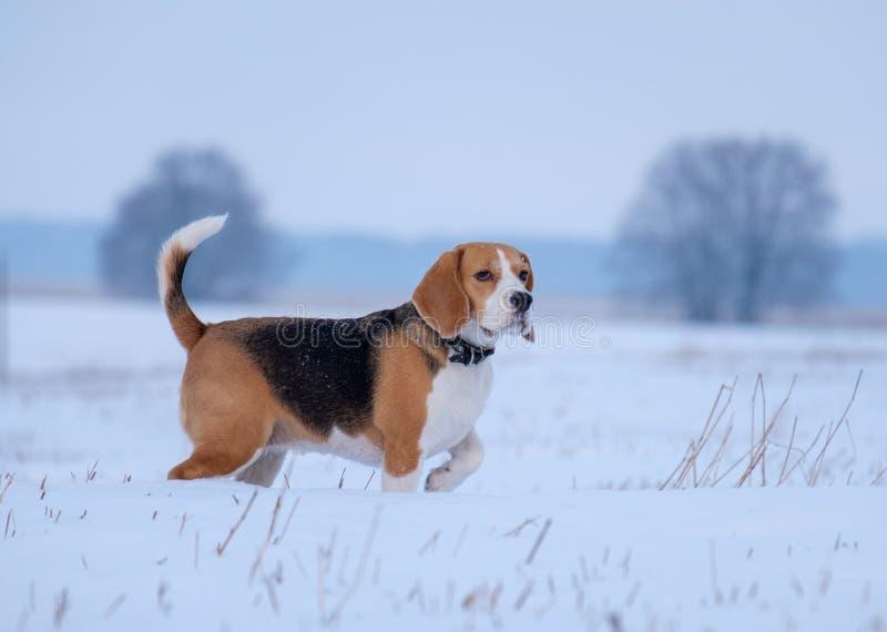 在步行的小猎犬狗在冬天多雪的领域 免版税图库摄影