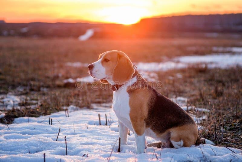 在步行的小猎犬狗在春天在日落的 库存照片