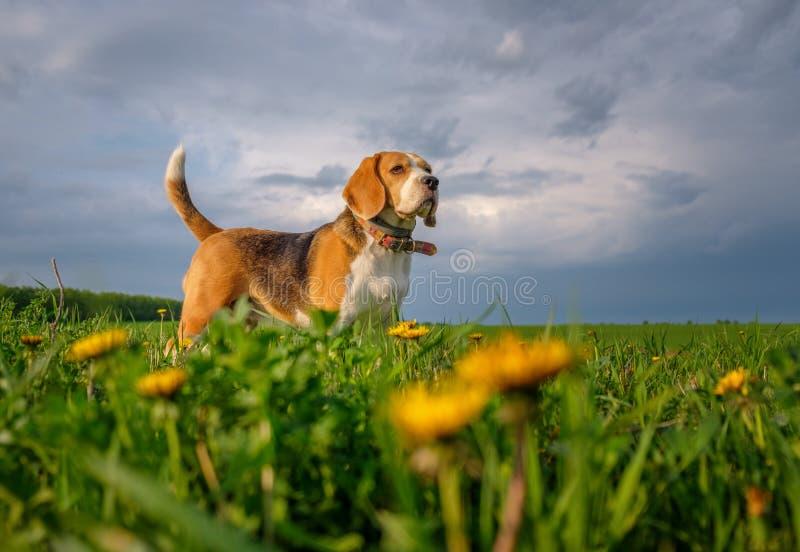 在步行的小猎犬狗在春天在领域的用黄色蒲公英 免版税库存图片