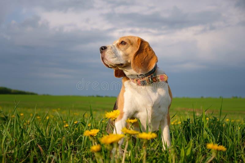 在步行的小猎犬狗在春天在领域的用黄色蒲公英 免版税库存照片