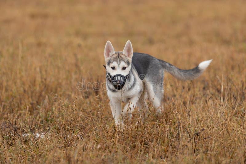 在步行的幼小多壳的小狗在秋天领域 库存照片