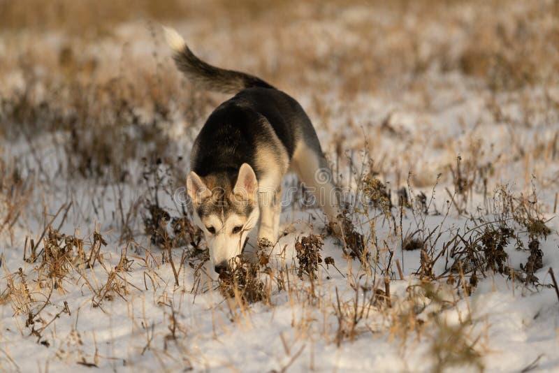 在步行的幼小多壳的小狗在雪原 免版税库存照片