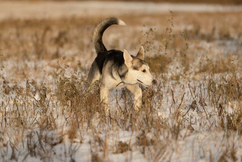 在步行的幼小多壳的小狗在雪原 库存图片