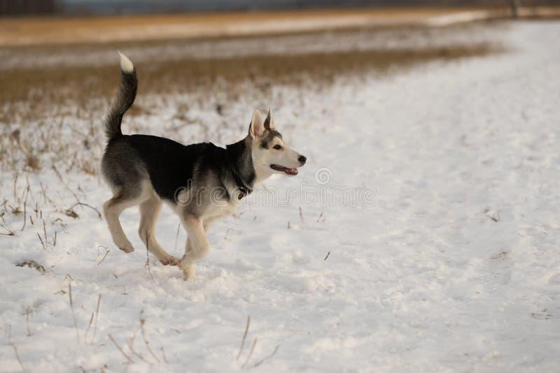 在步行的幼小多壳的小狗在雪原 免版税图库摄影