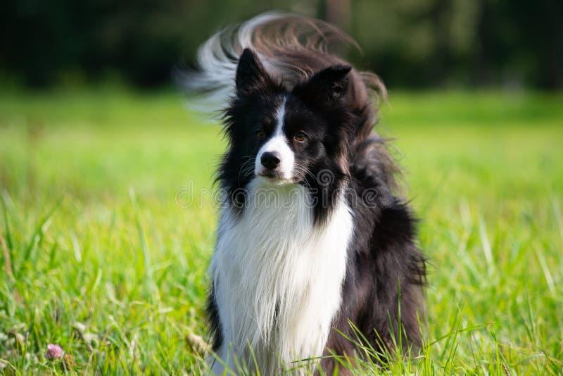 在步行的幼小精力充沛的狗 博德牧羊犬 库存照片