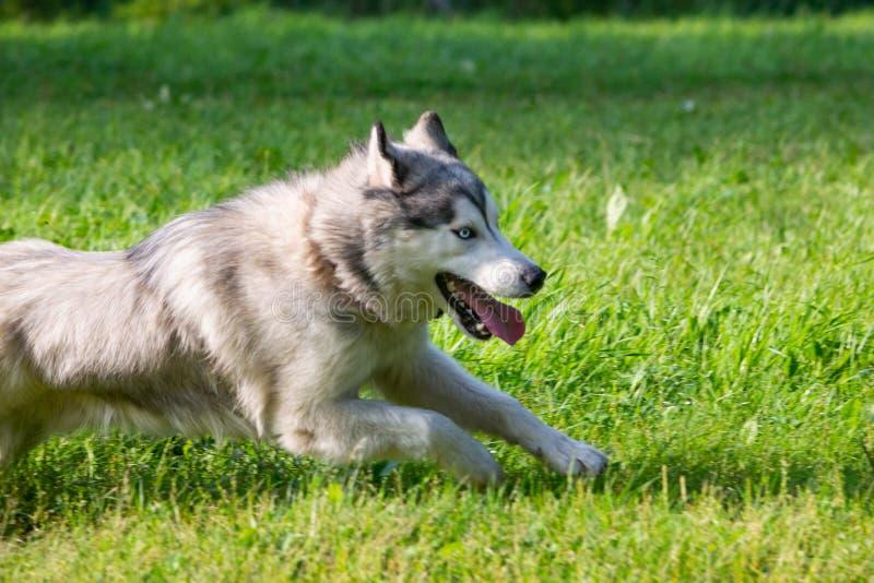 在步行的幼小精力充沛的狗 多壳的西伯利亚人 免版税库存照片