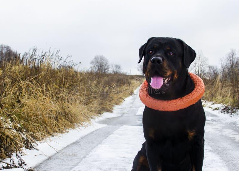 在步行的快乐的Rottweiler 免版税库存图片