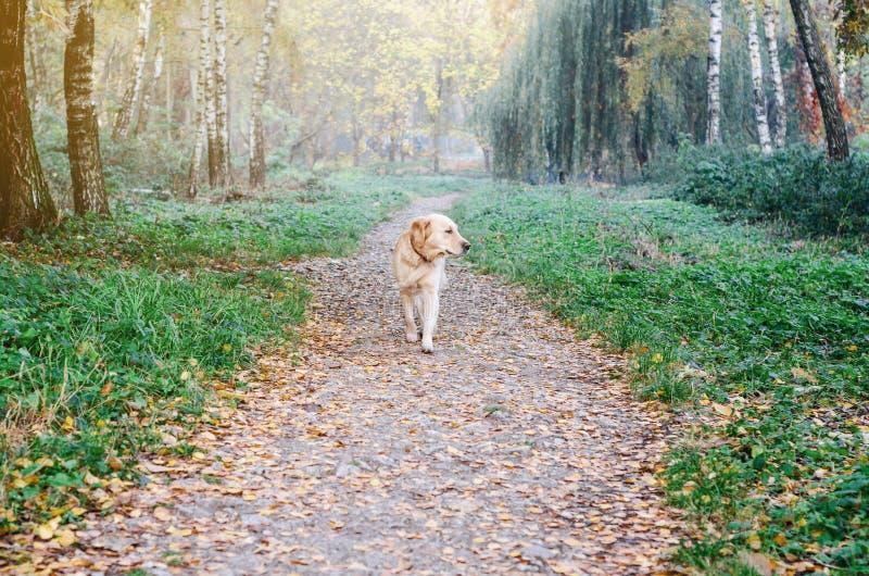 在步行的狗品种金毛猎犬在路的秋天公园 图库摄影