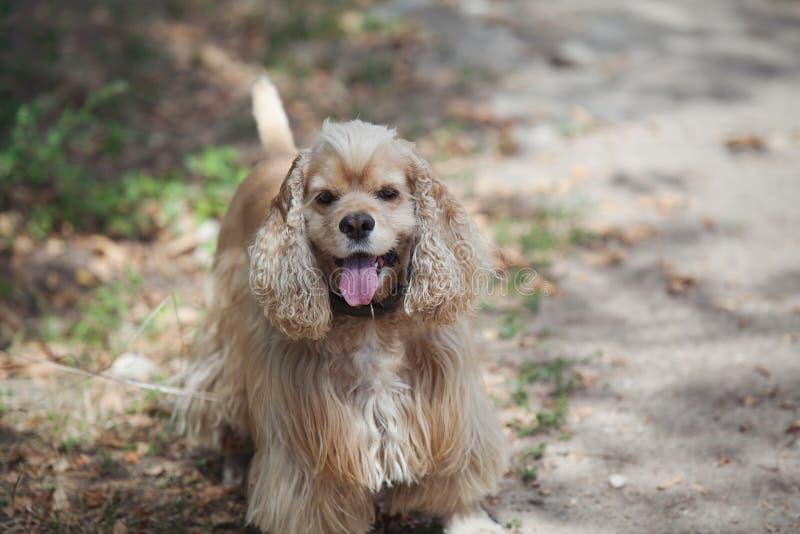 在步行的美国美卡犬在秋天公园 库存照片