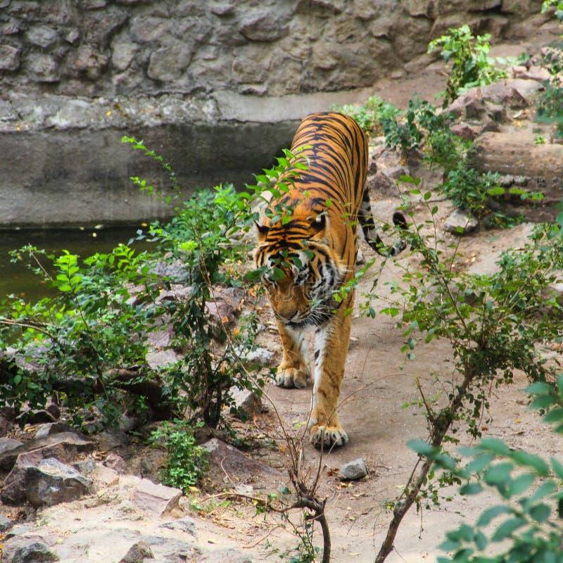 在步行的老虎在鸟舍 库存图片