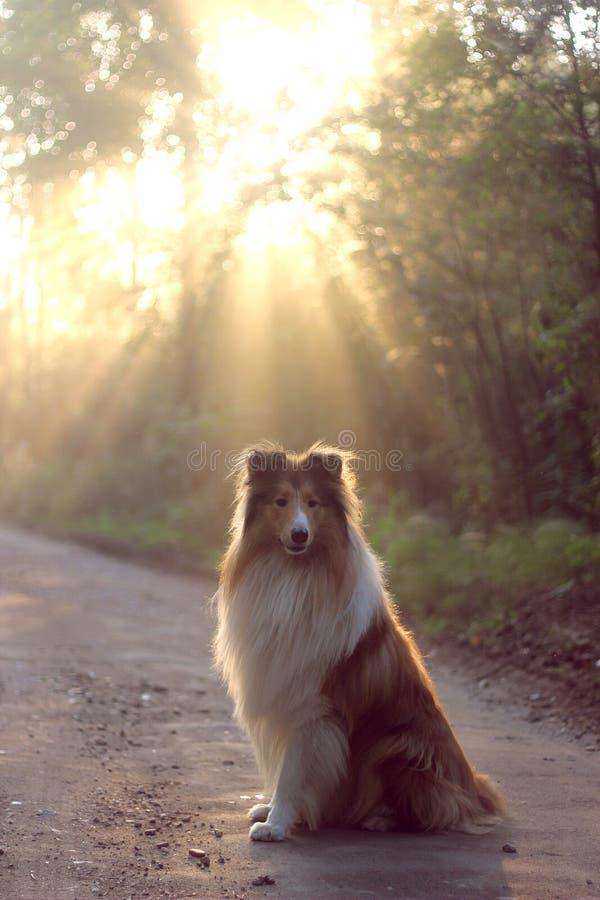 在步行的蓬松大牧羊犬在公园 免版税图库摄影