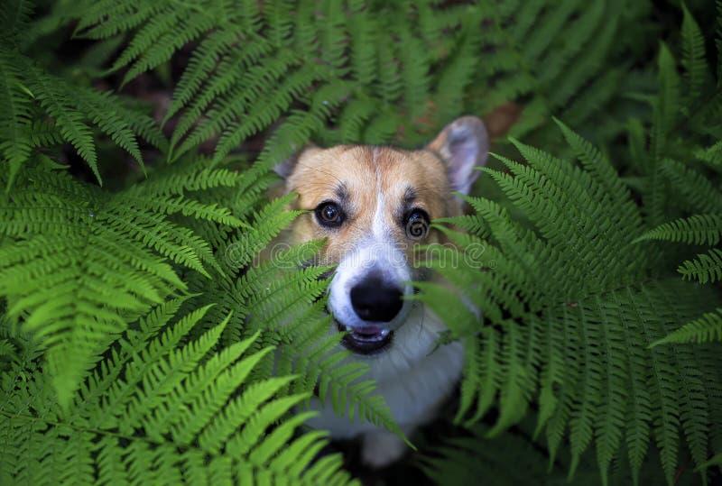 在步行的逗人喜爱的小狗小狗在他在蕨的叶子和的窥视厚实的丛林滑稽掩藏的夏天公园 库存图片