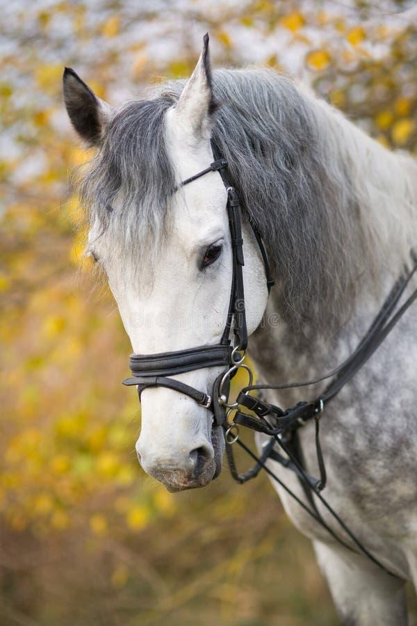 在步行的马在秋天 免版税库存图片