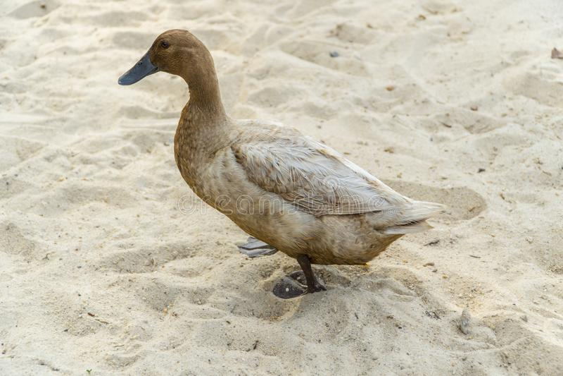 在步行的鸟 免版税库存图片