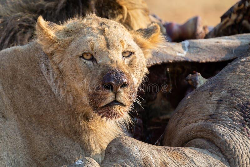 在死的犀牛尸体的恼怒和饥饿的狮子饲料  免版税库存照片