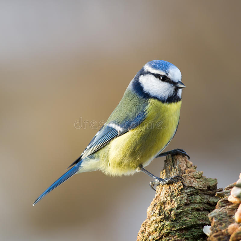 在残余部分的蓝冠山雀 免版税库存照片