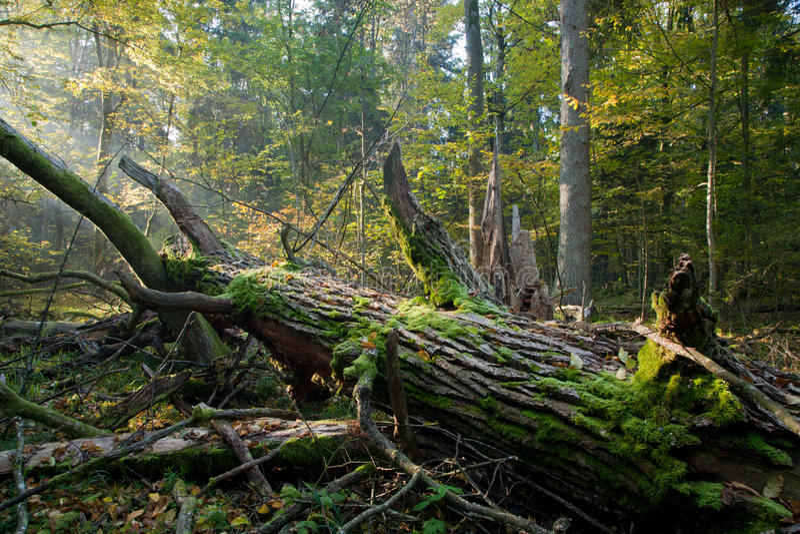 在残破的橡木老光束结构树之上 免版税库存图片