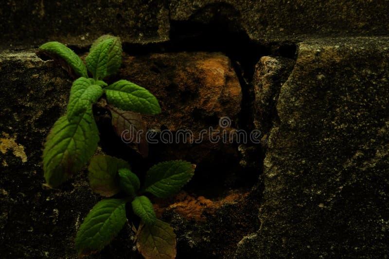 在残破的砖的小的树苗 库存照片