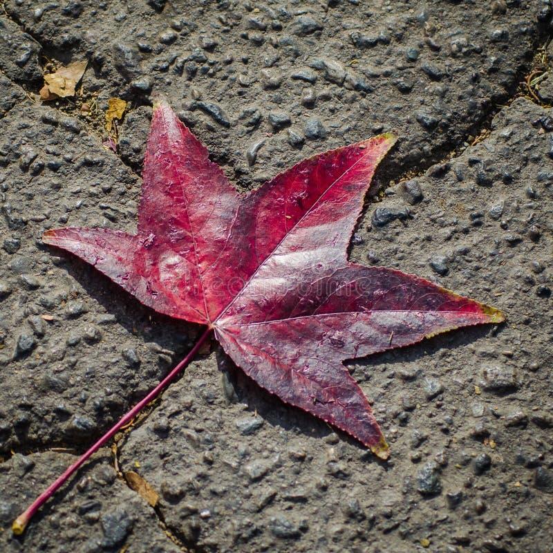 在残破的路面的红色叶子 库存图片
