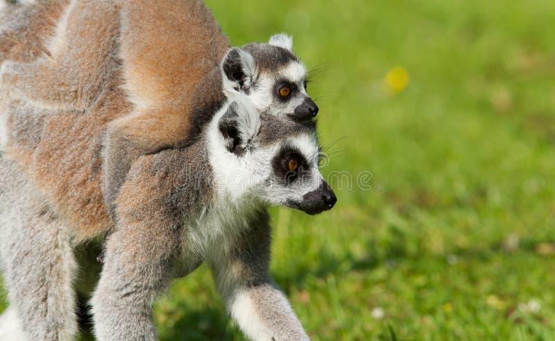 在母亲的幼小环纹尾的狐猴 库存图片