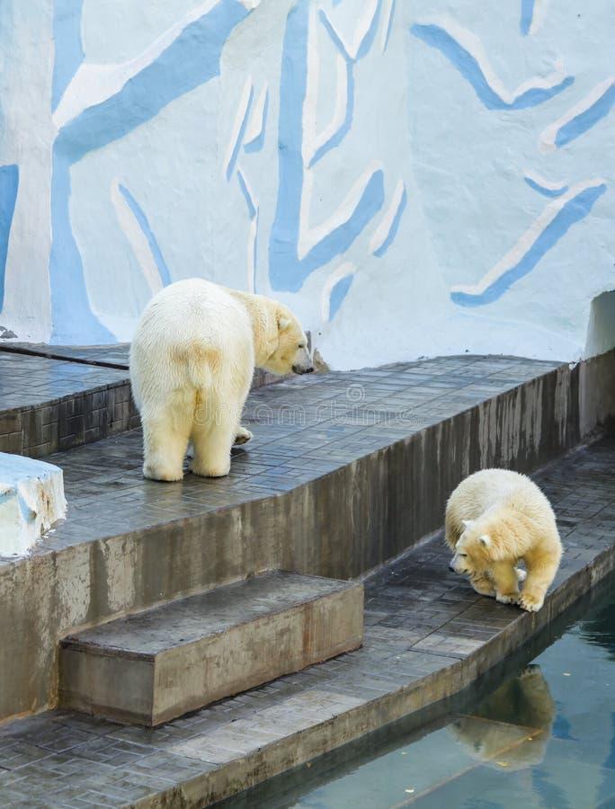 在母亲附近的逗人喜爱的小白熊崽 免版税库存照片