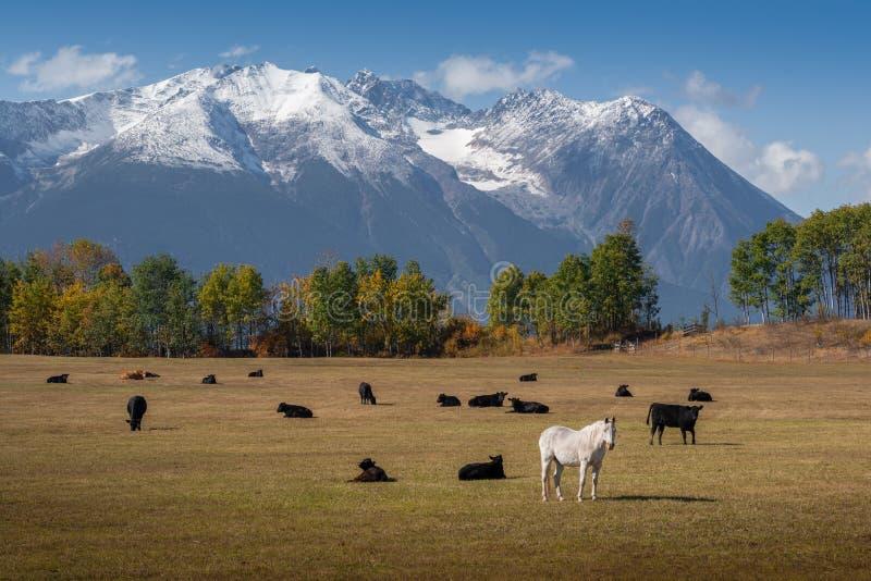 在母牛中的马 图库摄影