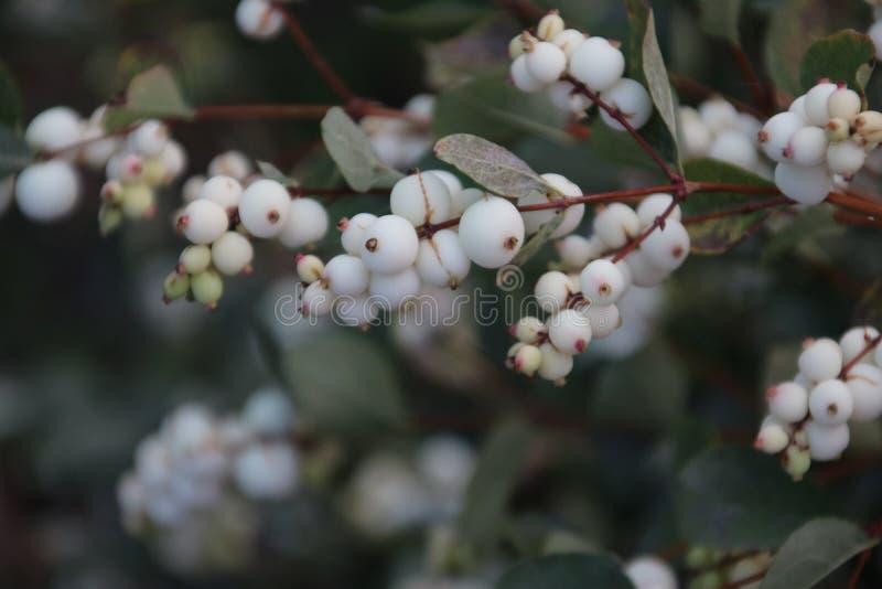 在每年落叶的灌木albus的亦称白色莓果在Nieuwerkerk aan小室IJssel种植在一条街道上的共同的雪果, 免版税库存照片