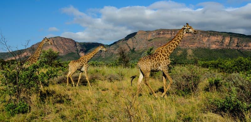 在比赛储备的长颈鹿 免版税图库摄影